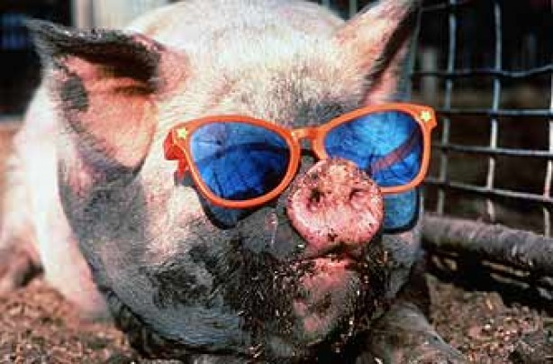 fat dirty pig with sunglasses animals with sunglasses