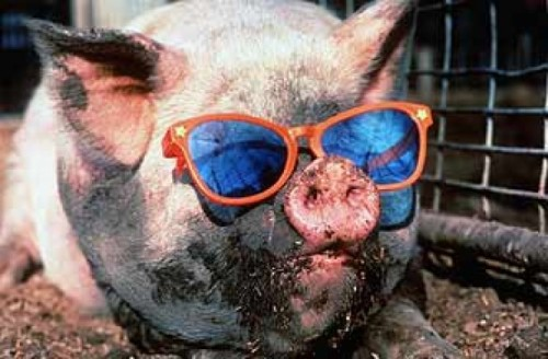 funny-animals-funny-animal-pics-animal-pics-pig-sunglasses